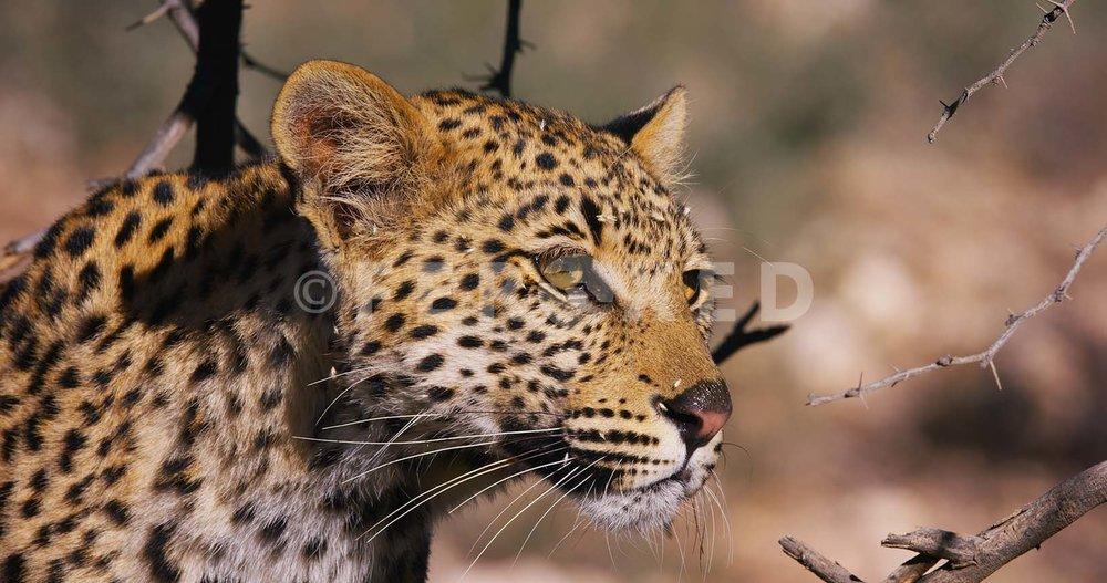 Leopard Kgahagadi 2018_1.44.1.jpg