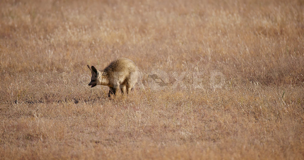 Bat Eared Fox Kgahagadi 2018 b_1.302.2.jpg