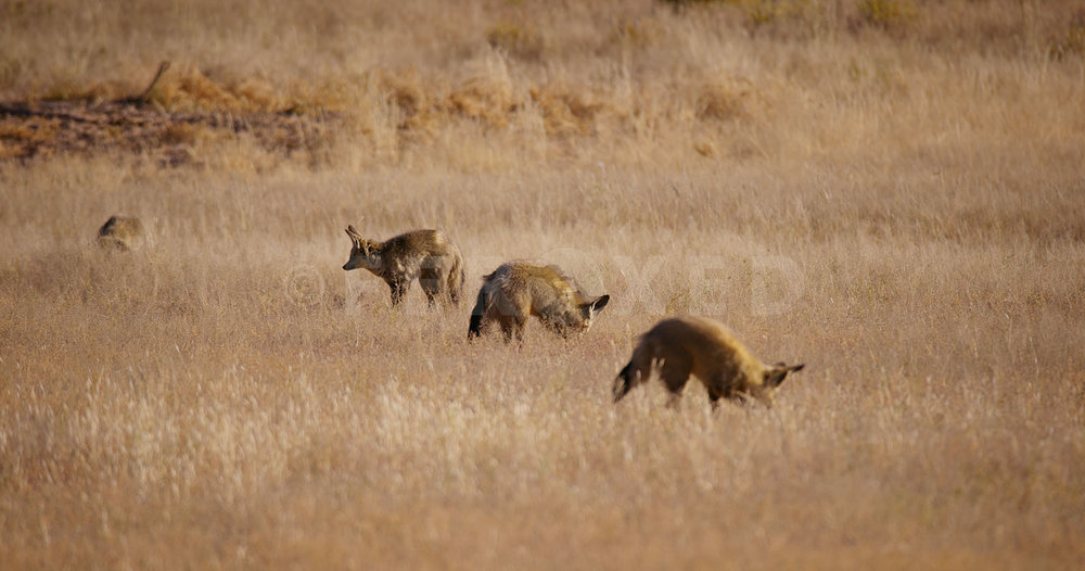 Bat Eared Fox Kgahagadi 2018 b_1.310.1.jpg