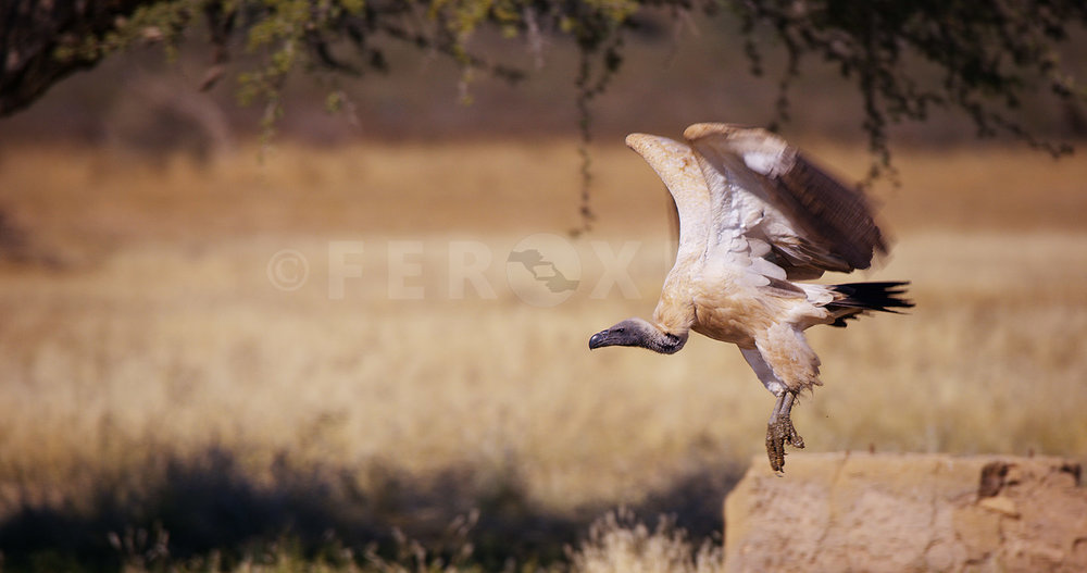 White Backed Vulture Kgahagadi 2018_1.92.3.jpg