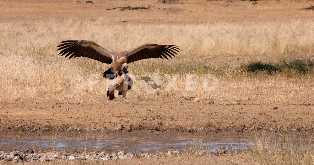 White Backed Vulture Kgahagadi 2018_1.175.1.jpg