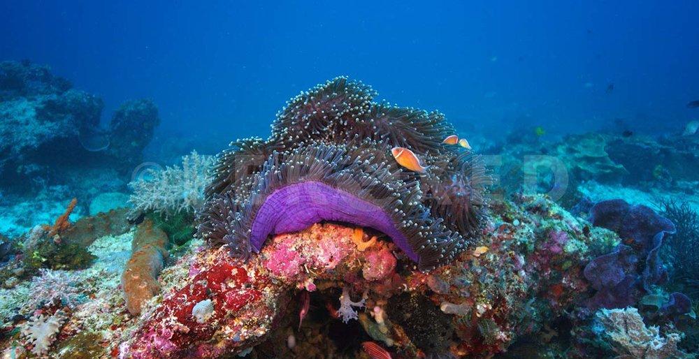 Clownfish 02.jpg