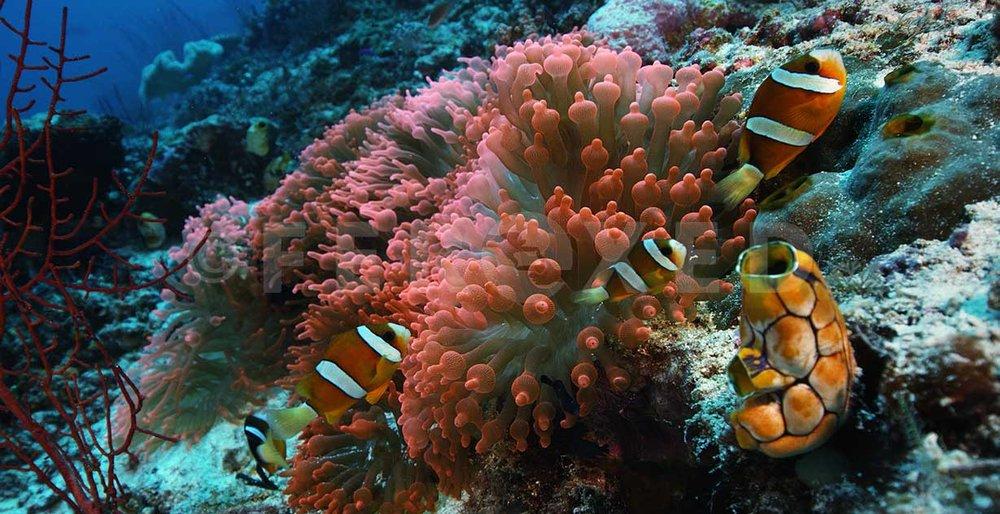Clownfish 04.jpg