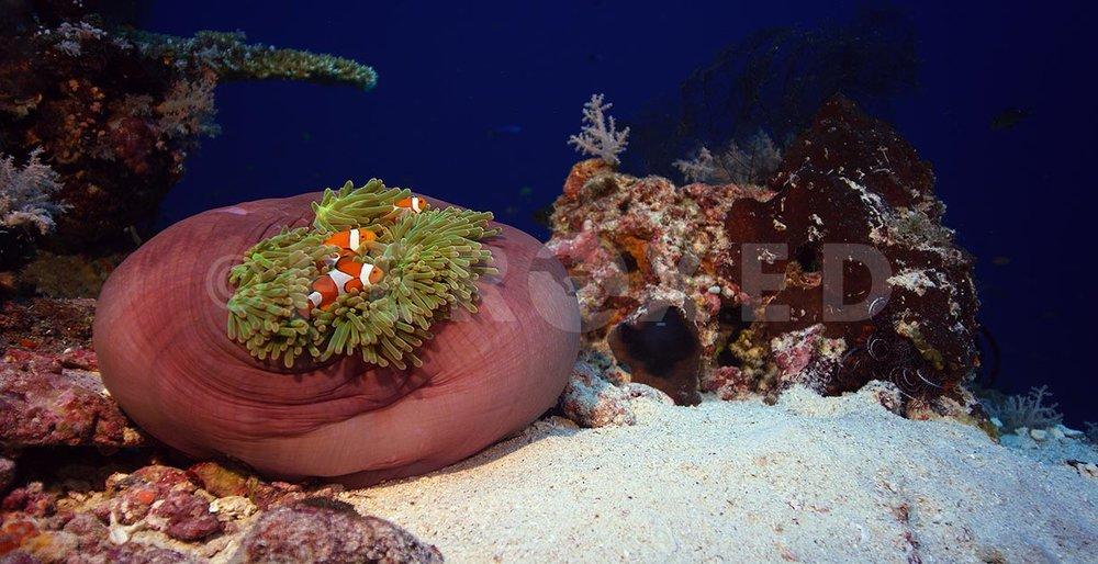 Clownfish 10.jpg