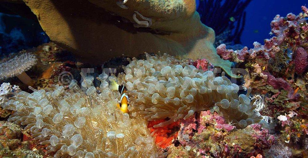 Clownfish 09.jpg