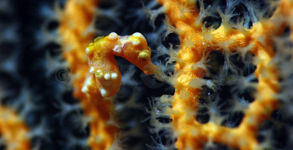Pigmy Seahorse 04.jpg
