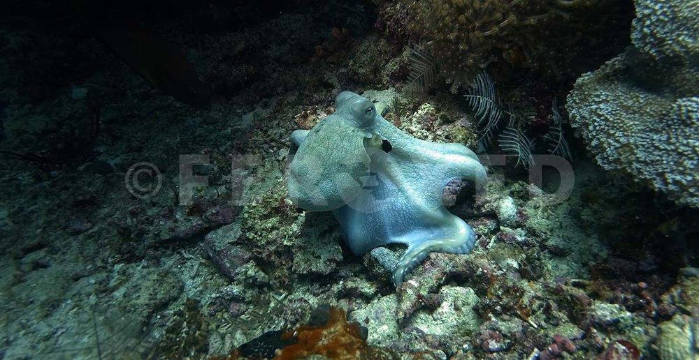 Octopus 02.jpg