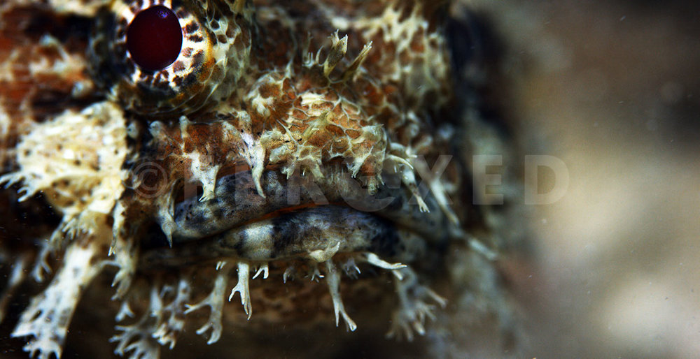 Toadfish 07.jpg