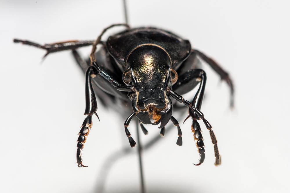 FVDB_BeetlesMacro-4045.jpg