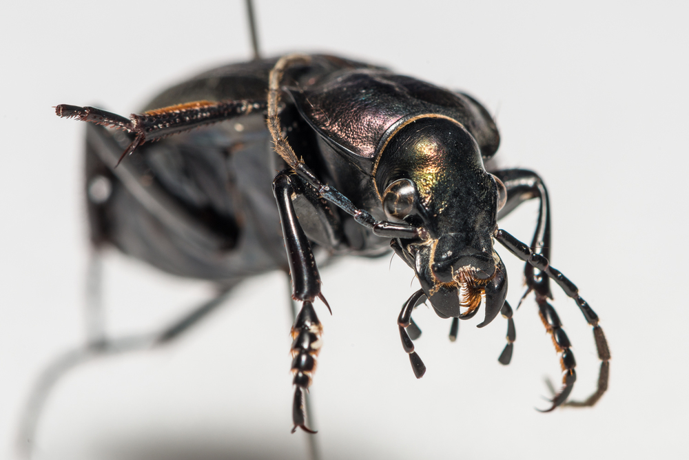 FVDB_BeetlesMacro-4047.jpg