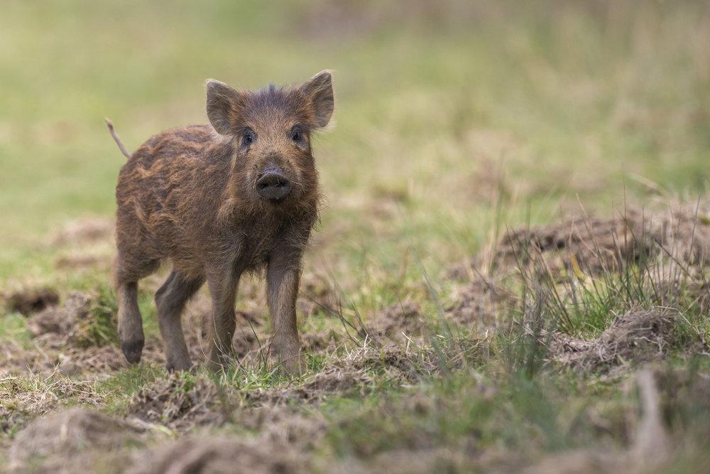 Wild Boar 01.jpg