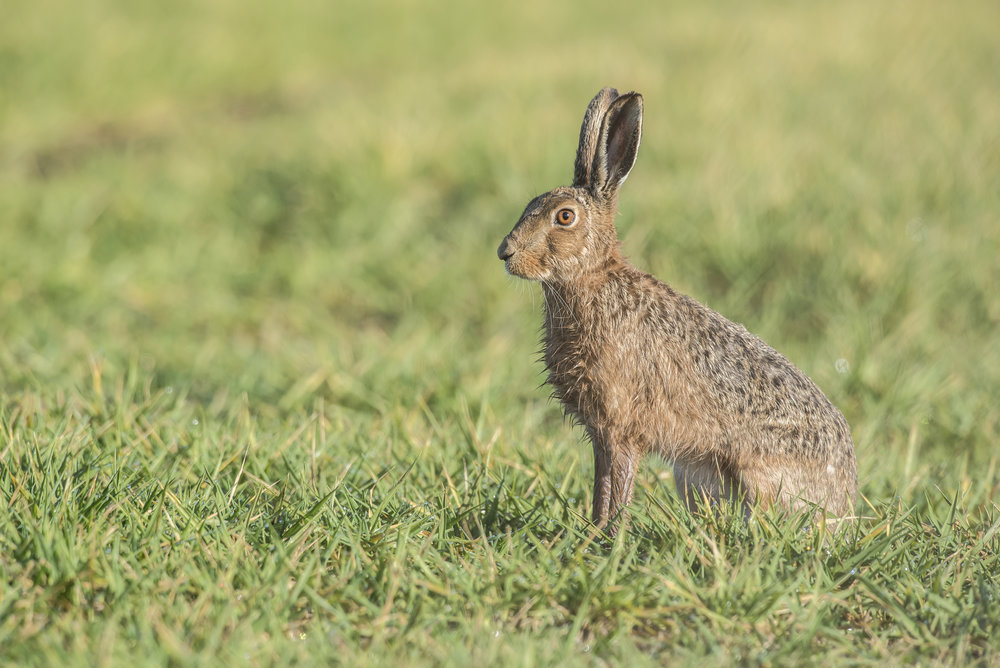 Brown Hare 01.jpg