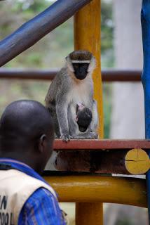Mama monkey running amok on the playground.
