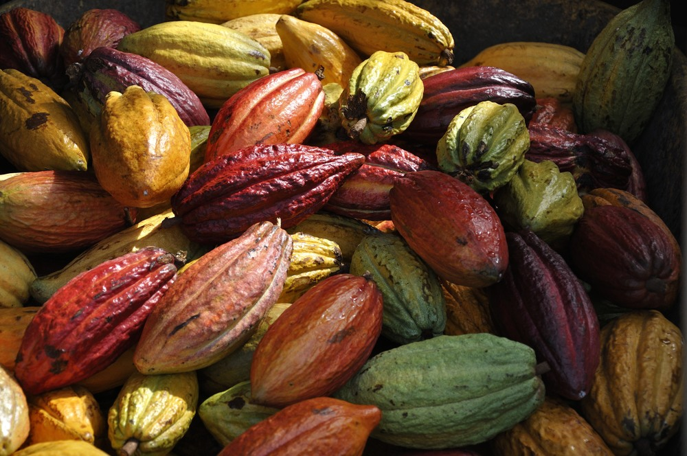 Cacao pods await harvesting in Hawaii. Photo copyright Meghan Miner Murray.