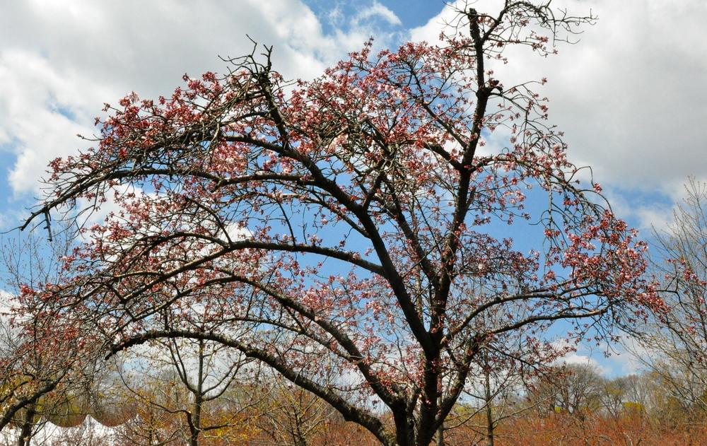 Sad cherry tree blossoms. (Photo by Lizzie B.)