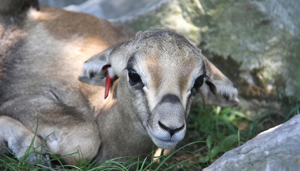 Baby Grant's Gazelle