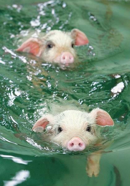 Swimming Pigs.jpg