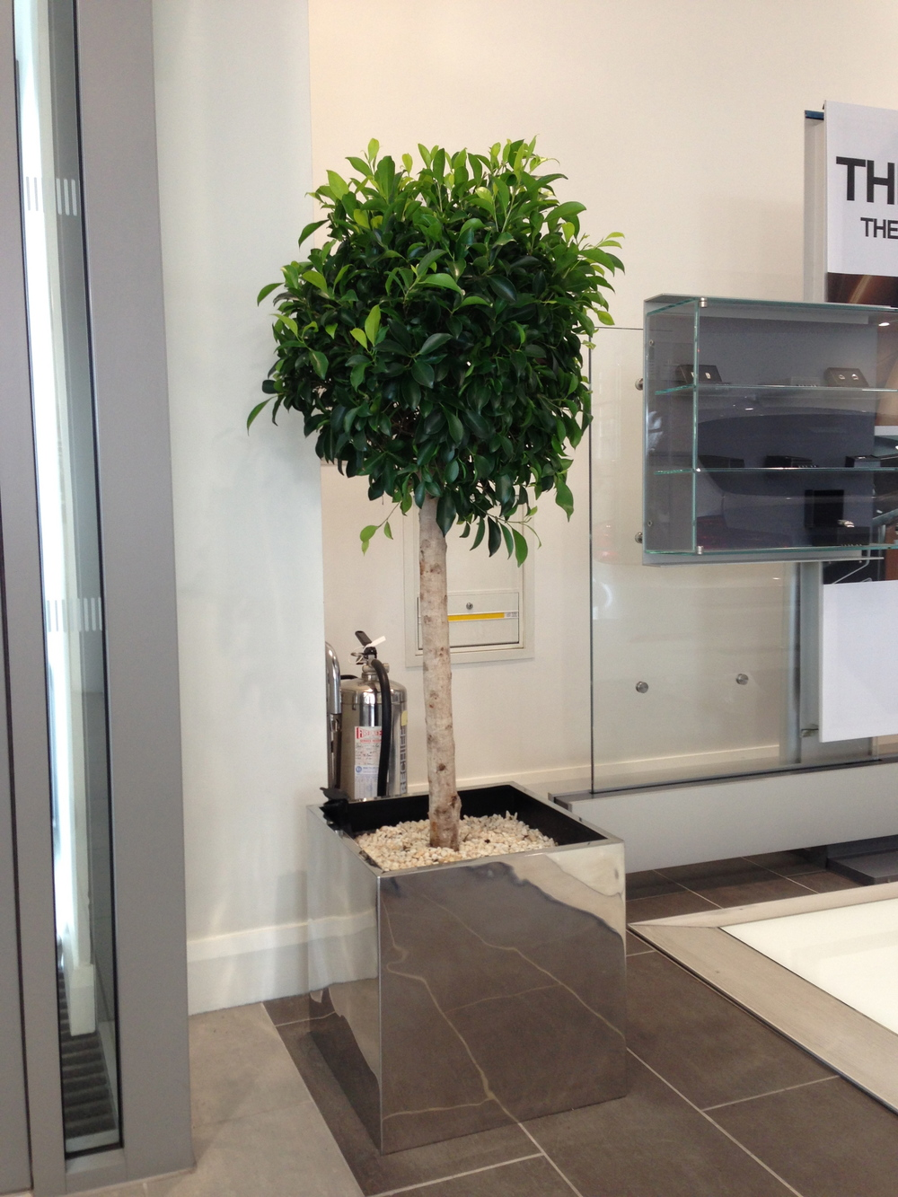 Ficus straight stem for Interior designer 02061