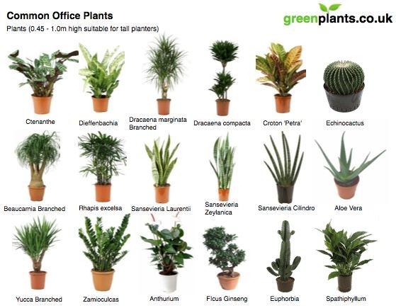 Common Office Plants