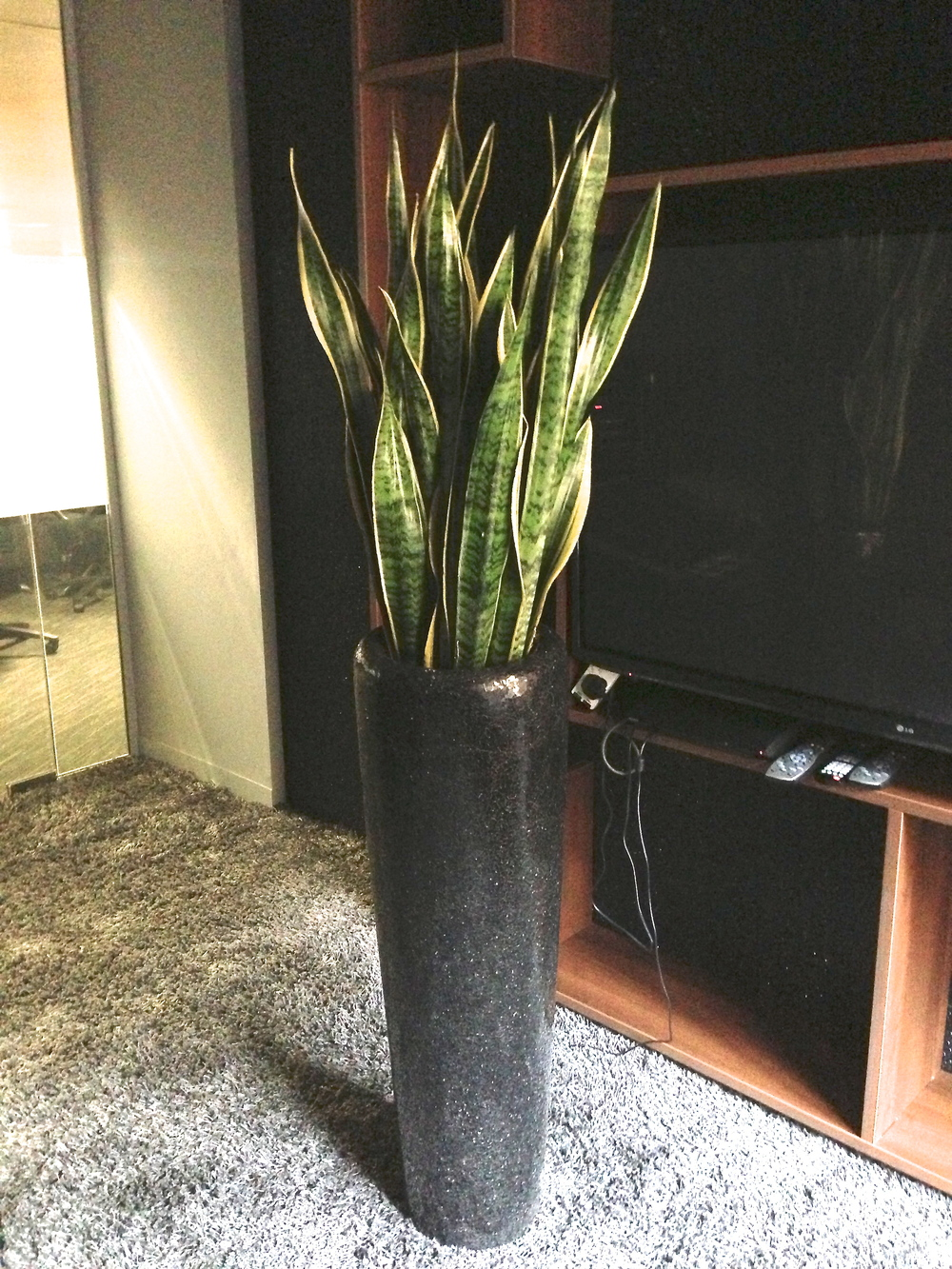 Sansevieria laurentii for Interior designer 02061
