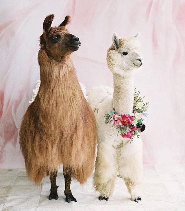 I am so here for this trend. #weddingalpaca #weddingllama // 📷 @spostophoto @brides