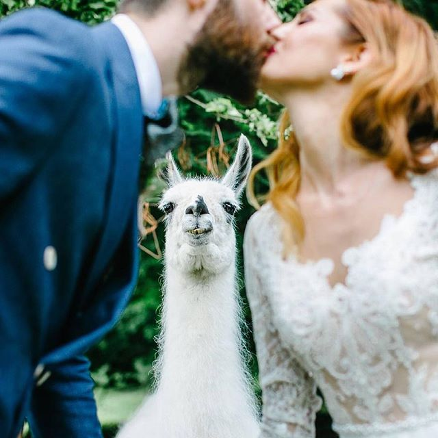 This alpaca is so psyched on his photobomb! #weddingalpaca 📷 @marie_oni