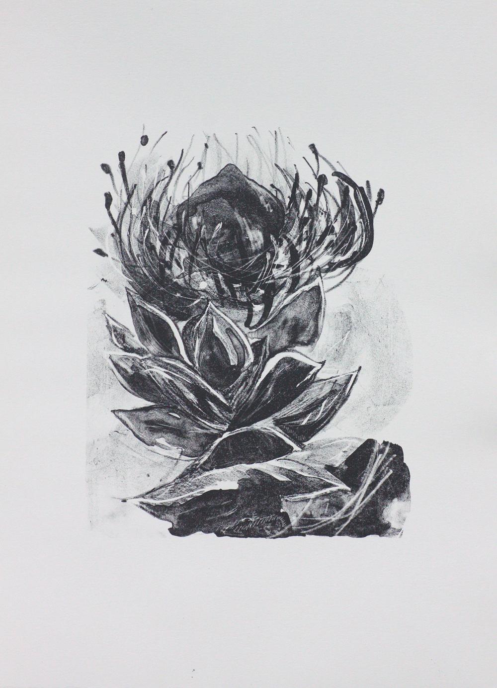 Proteaceae - Pincushion   Lithograph. 2016  35 x 25cm  $500 (F)  $300 (UF)