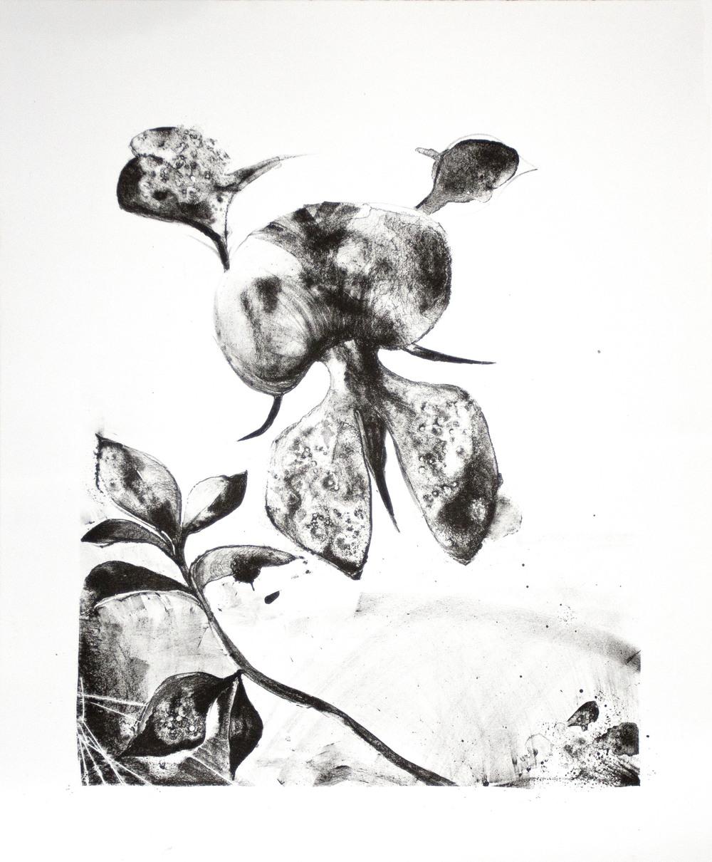 Fabaceae - Indigofera   Lithograph. 2016  55 x 45cm  $500 (UF)