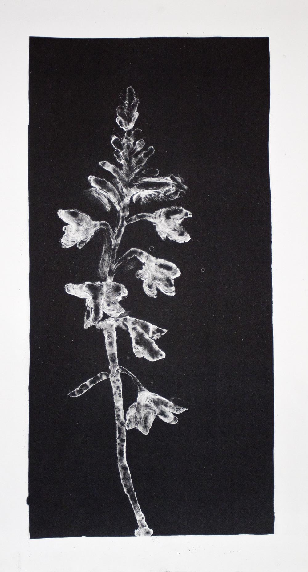 Iridaceae - Watsonia   Lithograph. 2016  48 x 26cm  $600 (F)  $400 (UF)