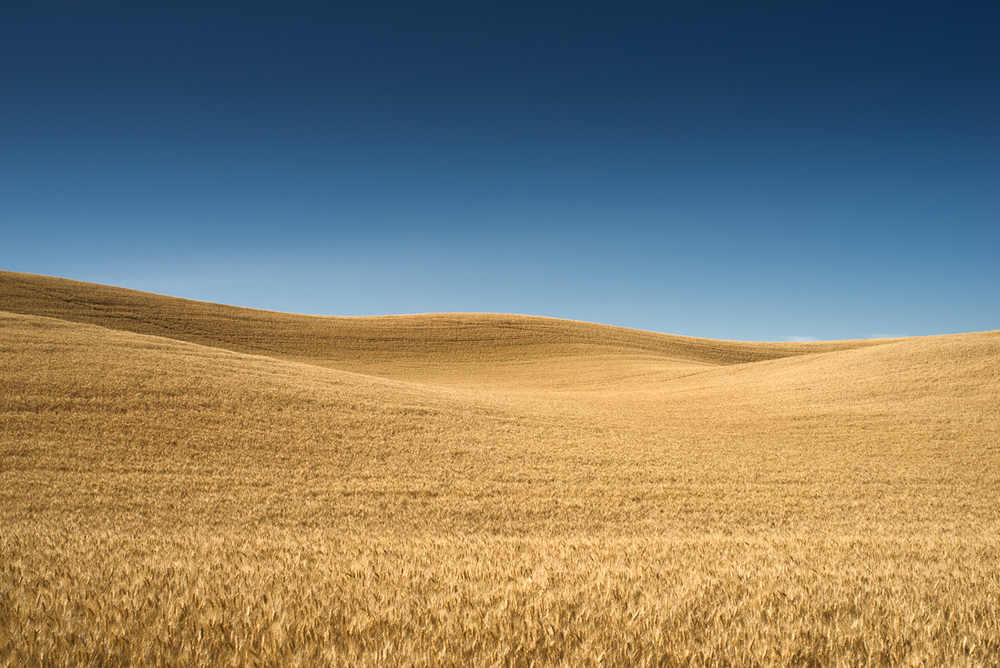 Palouse Golden Hills I