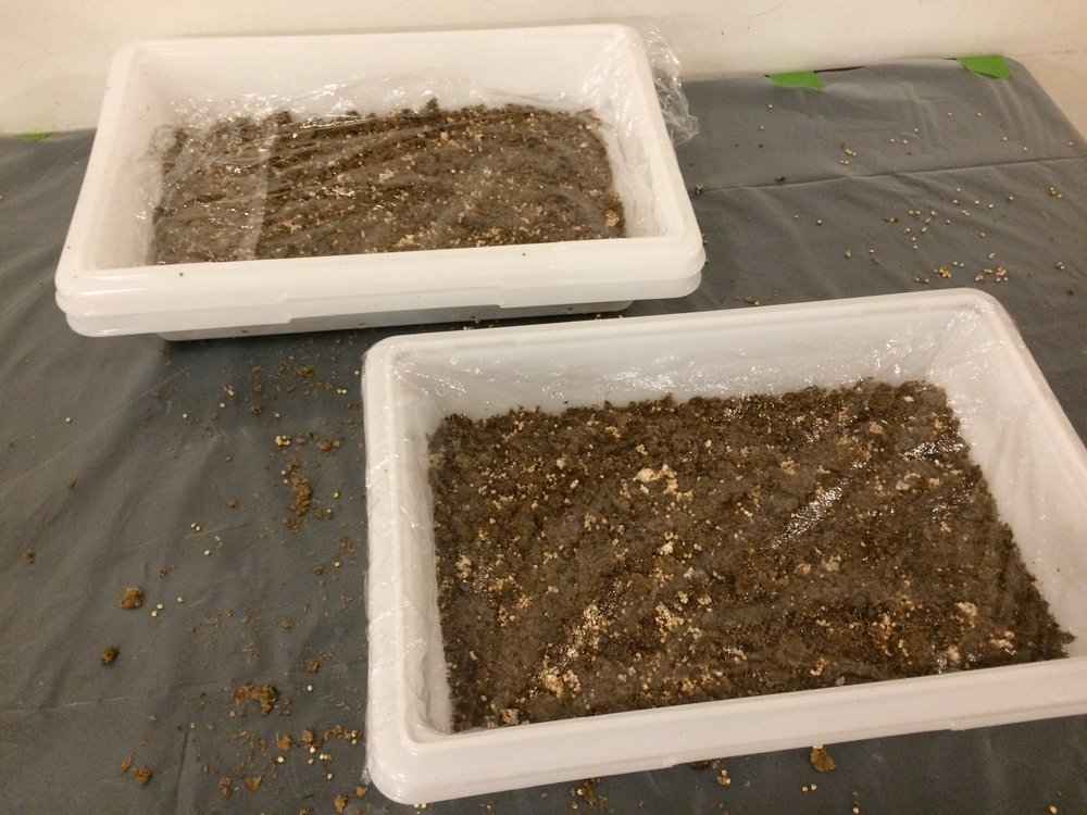 Day 1 - Notice the consistency of the mix of chaff and grain spawn.