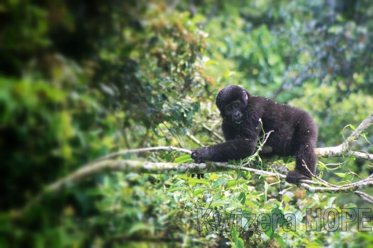 baby gorilla - Kwizera HOPE.jpg