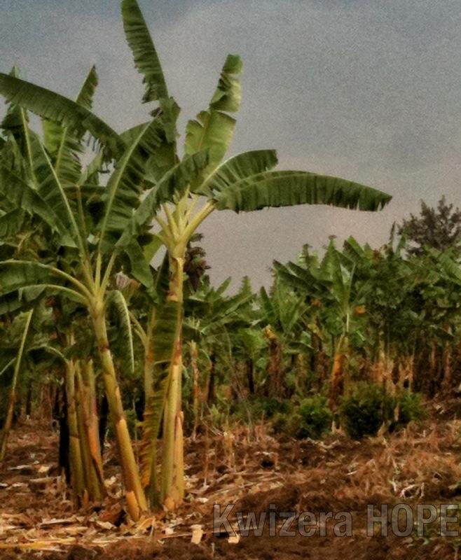 Banana Trees - Kwizera HOPE.jpg