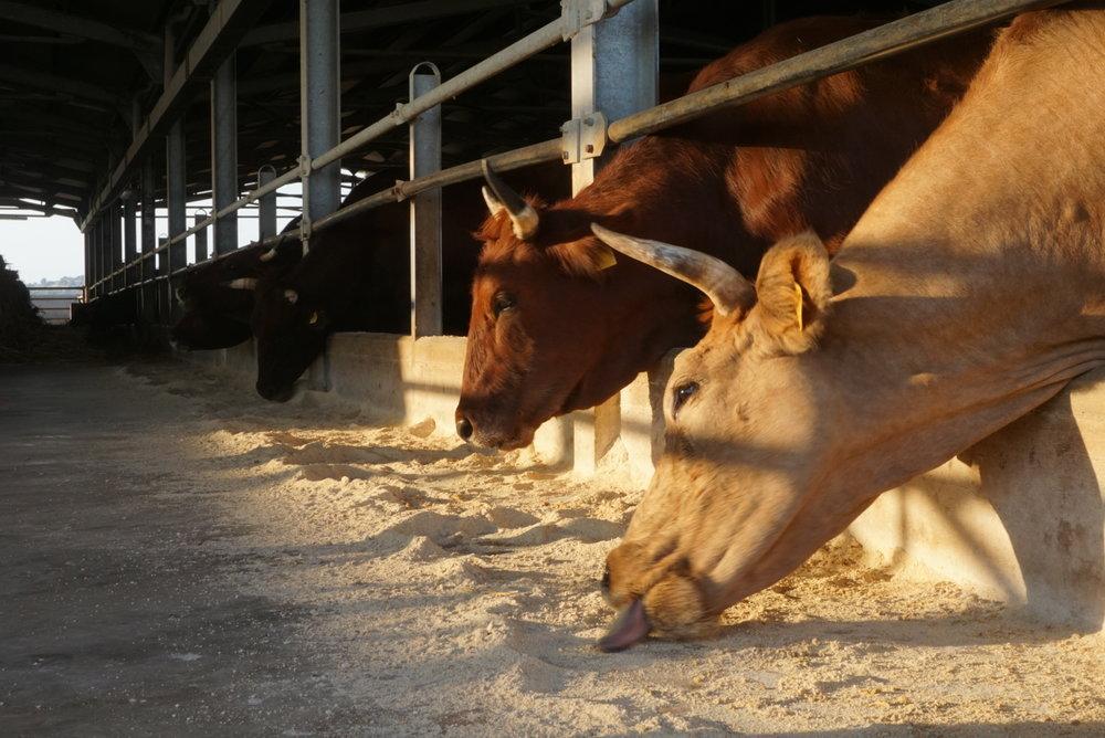 Buffalos at Azienda Agricola Magazze