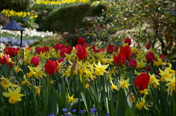 Tulips and Daffodils make a beautiful combination
