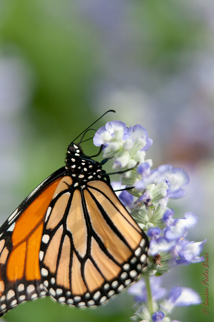 Monarch Butterfly © Lauren Peeler Brice Four Rivers Photo