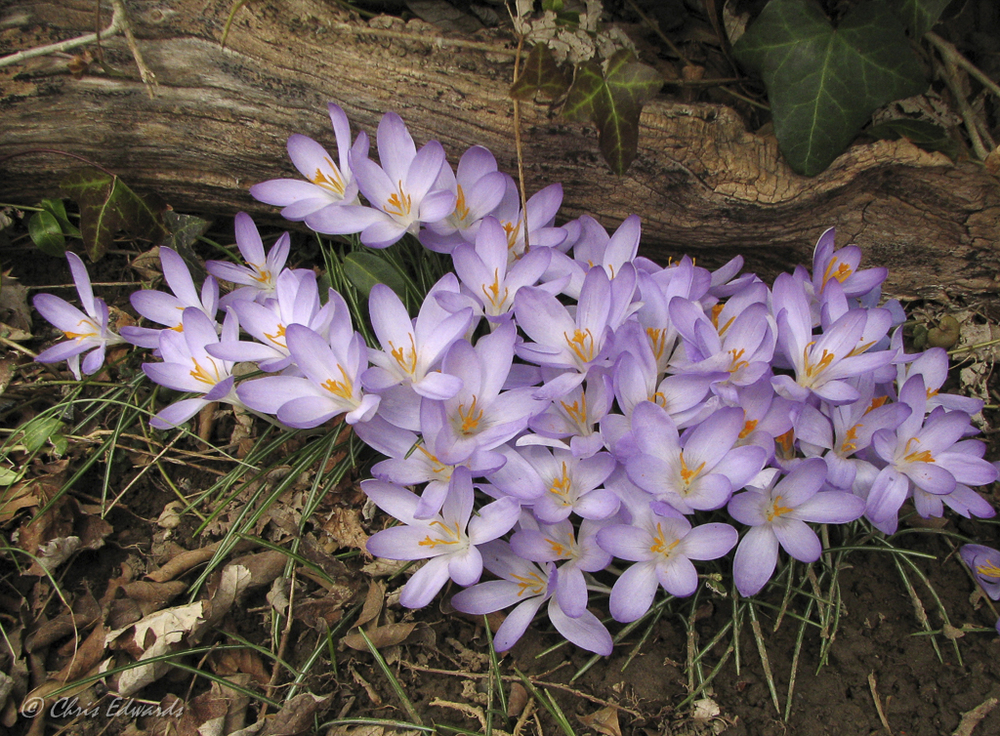 Crocus © Chris Edwards
