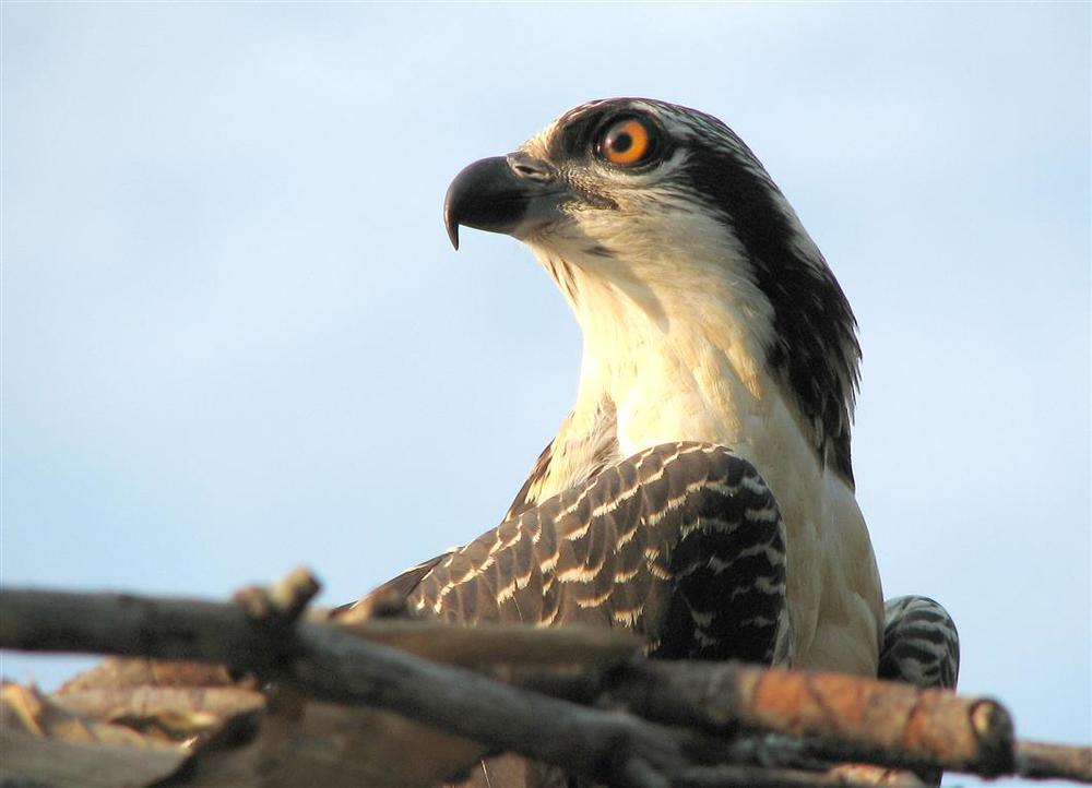 Male Osprey Chick © Chris Edwards Four Rivers Photo Workshops