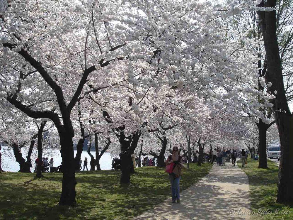 Cherry Blossom Walk, © Lauren Peeler Brice, Four Rivers Photo Workshops
