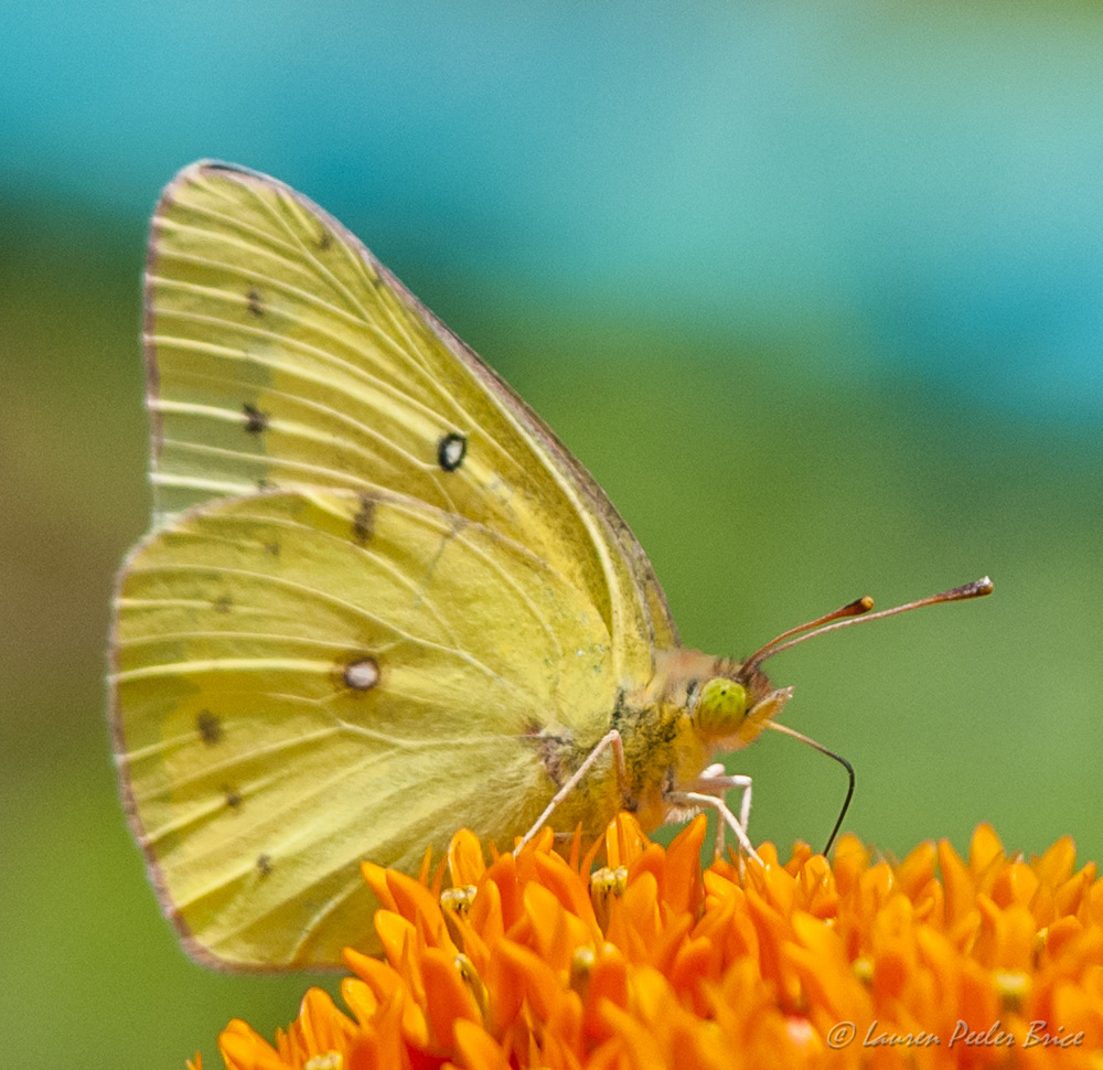 Yellow Sulphur Butterfly, Four Rivers Photo Workshops
