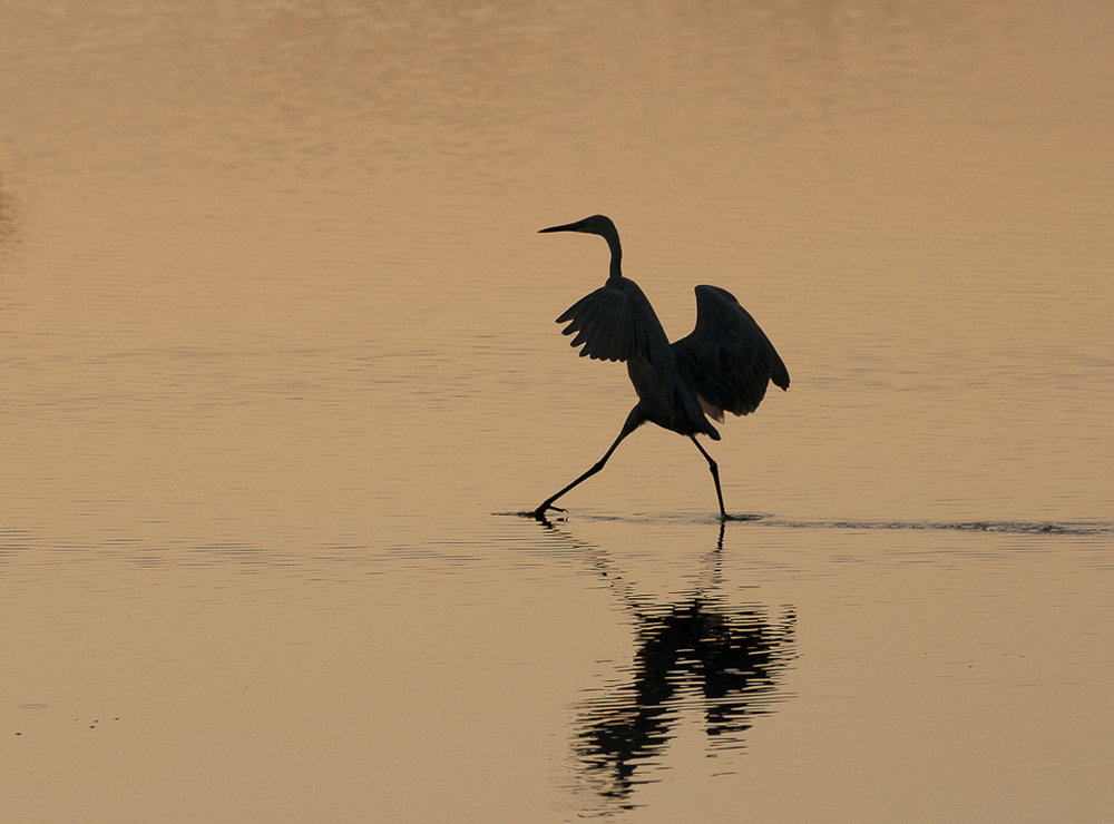 Reddish Egret Fishing at Sunset