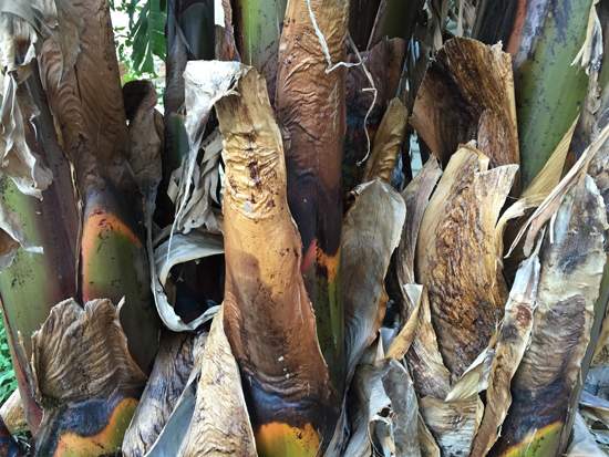 Banana Tree - Patrice Federspiel