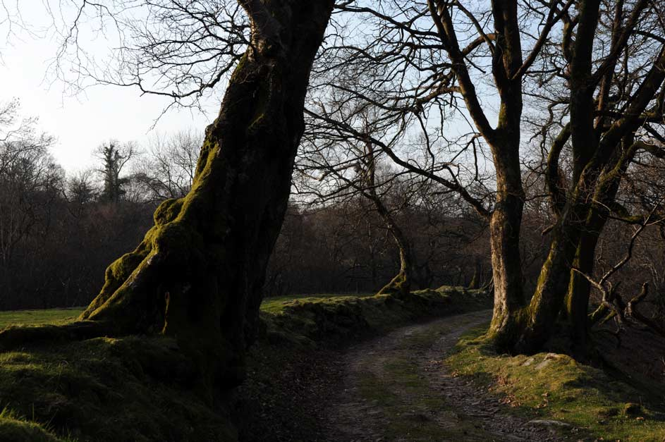 Wales-old-trees-Brecon-Beac.jpg