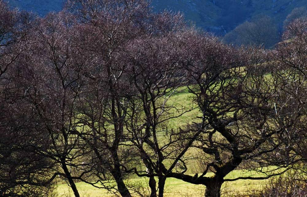 Wales-Oaktrees-in-springtim.jpg