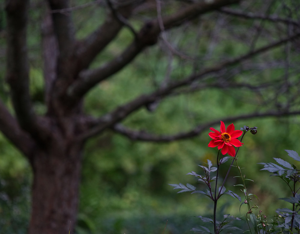 tree-dahlia-web.jpg