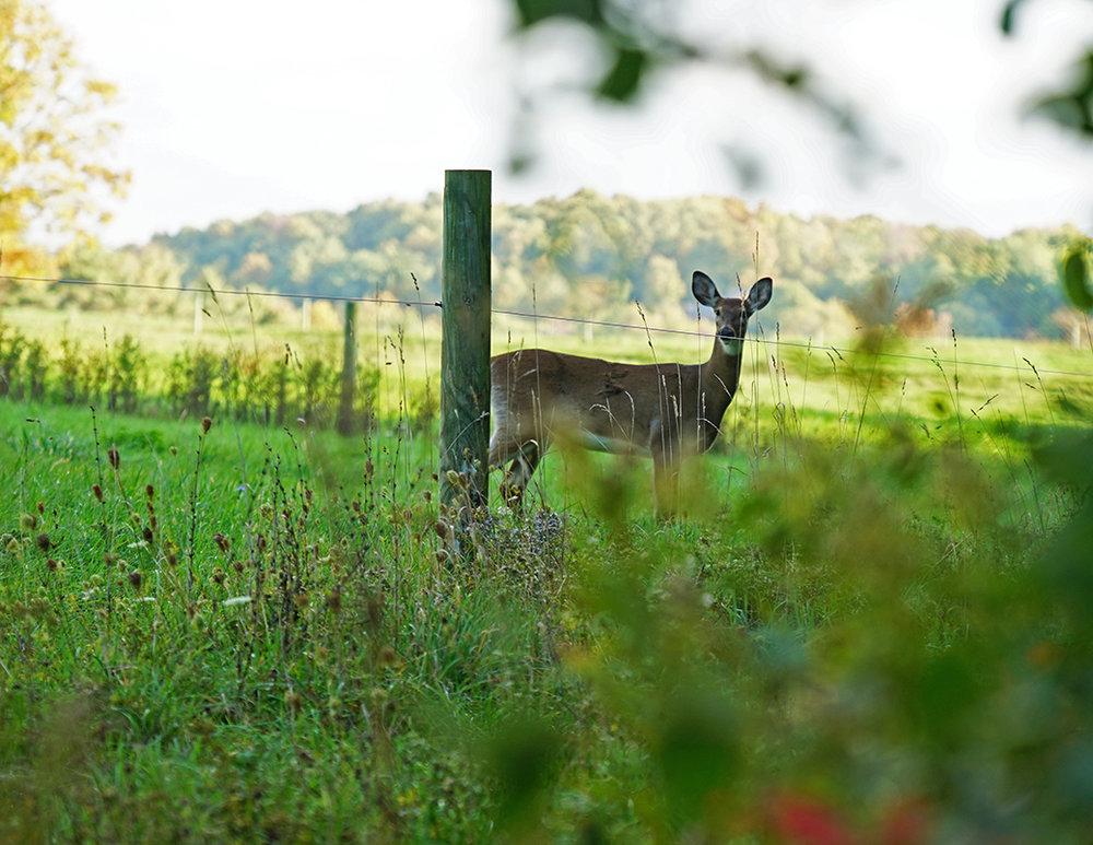 deer-2-w.jpg