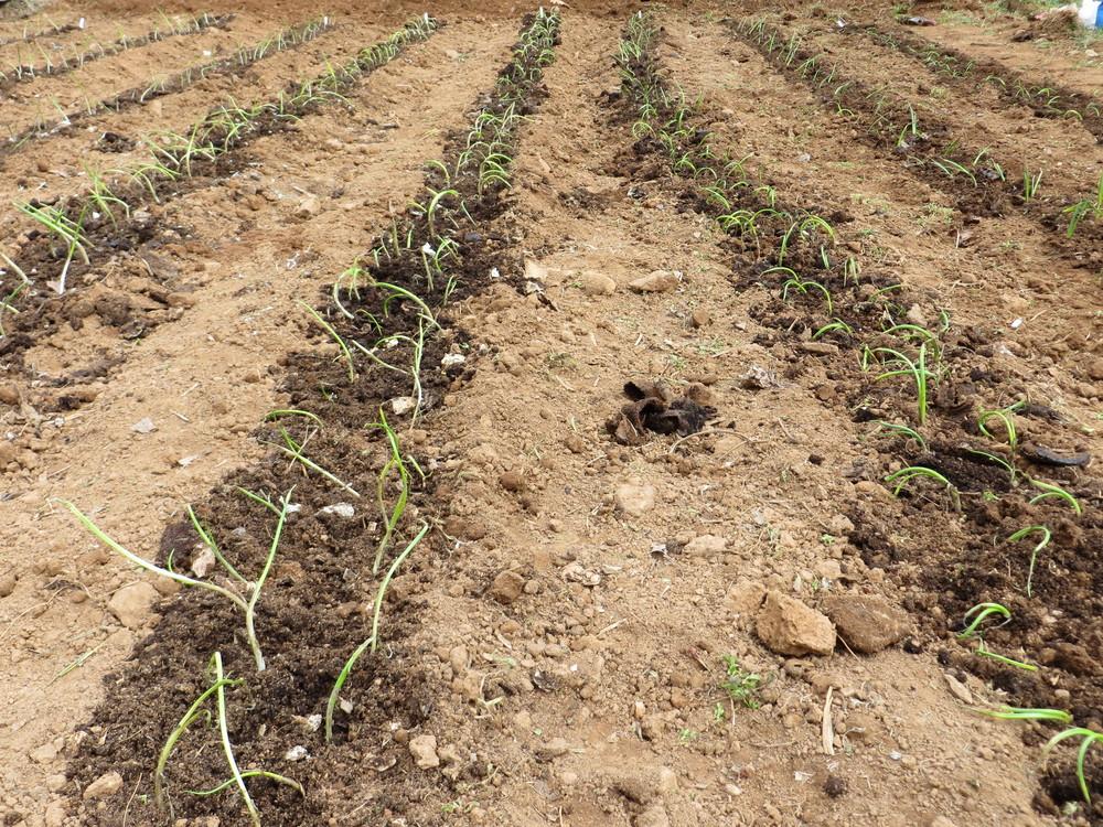 Garden onions 2013.JPG
