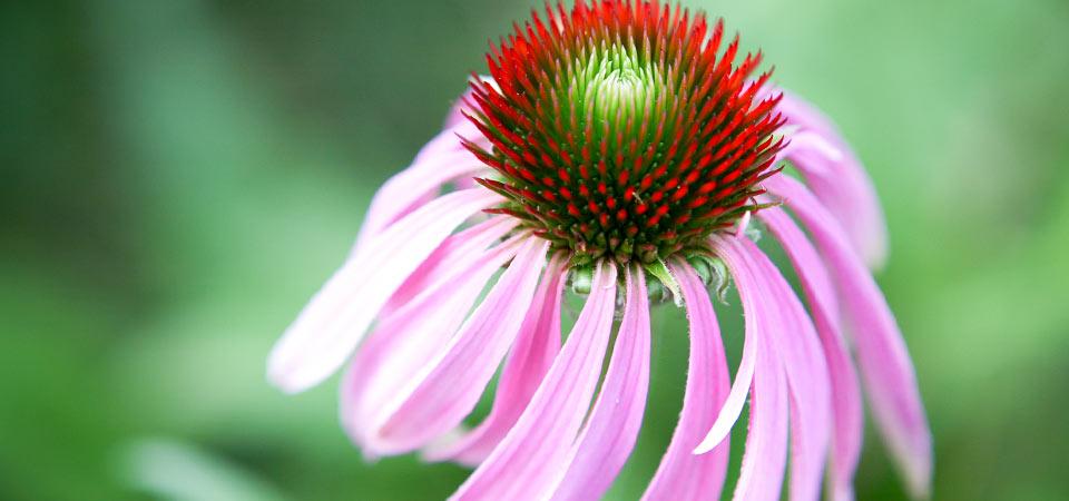 orgainic echinacea.jpg