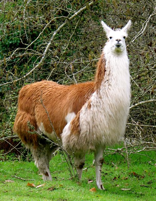 This is Mama Llama.  A big girl with orange and white markings.  She's Carla's mom and best friend.  She's Big Sue's full sister, one year apart.