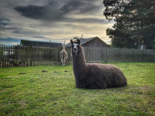 This is Carla the biggest llama on the planet, at least the biggest one here.   She is Mama Llama's baby born July 2006 .  She is dark brown with a white blaze on bridge of her nose.  That's her aunt, Big Sue in the background.